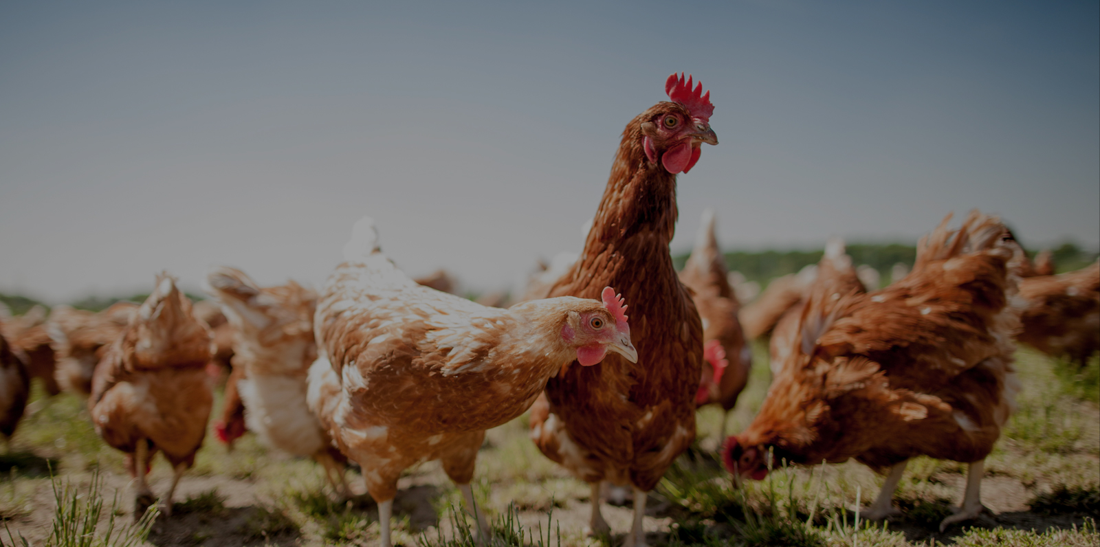 Rosehill Poultry